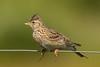 Skylark -- portrait (mnielsen9000) Tags: portrait bird alaudaarvensis eurasianskylark