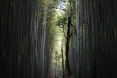 Bamboo Forest (tsukaretab) Tags: nature japan forest kyoto bamboo arashiyama