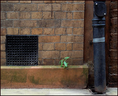grill, growth and drainpipe, Exeter (Philip Watson) Tags: city growth devon exeter alleyway vegetation