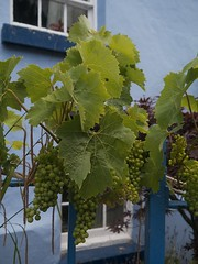 Grapes (World of Izon) Tags: blue green window fence garden vines grapes bishopscastle