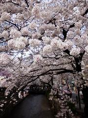 Kiyamachi Street (izunavi) Tags: japan kyoto    sakura cherryblossoms kiyamachi kyotocity    kyotoprefecture takaseriver    kiyamachistreet shimogyoward kawaramachistationarea   gionshijostationarea