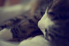 relax (Axel Ku.) Tags: pet animal 35mm raw sleepingcat rudi katzen kater haustiere primelens canonef35mmf20 schlafendekatze canoneos5dmarkiii