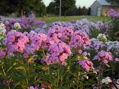 setting sun flowers (2) (Ange 29) Tags: pink flowers light sun canada garden king purple olympus m setting zuiko township omd em1 1240mm