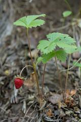 Fragaria vesca ssp. americana (dr_ruth) Tags: usa plant newmexico taos wildstrawberry rosaceae fragariavescasspamericana