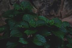 LEAVES (e.iv) Tags: atlanta green wet leaves rain stone georgia droplets edward saxon imagery 2014