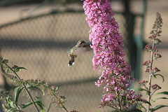 Hummingbird at the Butterfly Bush (Saline, Michigan) - August 14, 2014 (cseeman) Tags: birds michigan feeders saline butterflybush hummingbirdfeeder humingbirds hummingbirdeating hummingbirdsaline08142014
