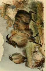 Anglų lietuvių žodynas. Žodis genus capra reiškia genties capra lietuviškai.