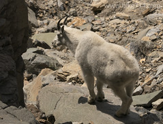 "Mountain Goat • <a style=""font-size:0.8em;"" href=""http://www.flickr.com/photos/63501323@N07/14758981159/"" target=""_blank"">View on Flickr</a>"