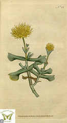 Rhombophyllum dolabriforme. Botanical Magazine vol.1, J.Sowerby (1787)
