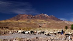 Altiplano - Atacama desert, Chile (My Planet Experience) Tags: chile travel blue sky people mountains colour nature canon landscape photo chili exterior sheep image sheepdog goat cerro atacama andes herd sanpedro guardian altiplano colorphoto sanpedrodeatacama keeper stockphotography herding herdsman miscanti miniques   miiques ili losflamencosnationalreserve cerromiscanti cerrominiques ile   wwwmyplanetexperiencecom myplanetexperience