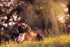 Into the Sunshine (AlyKPhoto) Tags: portrait dog pet pets sun white black macro cute sunshine loving canon outside outdoors happy eos 50mm warm sweet bokeh memories adorable warmth sigma sunny pit pitbull human together curious loyal 6d staffordshireterrier