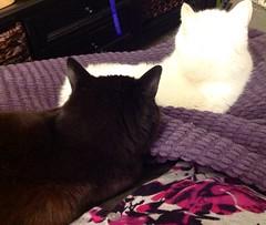 Black Cat White Cat (Rochelle, just rochelle) Tags: pets white black cat purple ears resting repeat companions