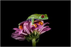 Red Eyed Flower Frog (trev_owen44) Tags: red pet flower macro tree nature animal closeup forest rainforest looking close wildlife flash conservation amphibian rica frog tropical eyed captive moist nikonmicronikkor105mmf28 agalychnis redeyedfrog nikond300s