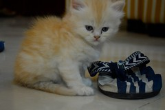 Teddy was the easy one. (Ayeshness) Tags: playing cute love persian kitten playful chappal