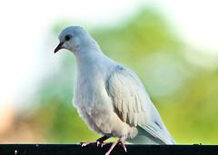 White Dove (lightstagephotography) Tags: dove whitebird whitedove