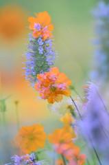 Floral - Orange Cosmos & purple Black Adder Hyssop - 2014 (deanrr) Tags: flowers summer orange floral blossoms multipleexposure blooms cosmos 2014 morgancountyalabama blackadderhyssop