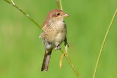 Red-backed Shrike (MyWorldsView) Tags: macro green bird nature grass animal closeup bokeh wildlife gras vogel shrike redbacked neuntter
