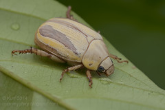 Scarabidae? IMG_9799 copy (Kurt (orionmystery.blogspot.com)) Tags: beetle scarab coleoptera scarabbeetle scarabaeidae coleopteran tropicalbeetles