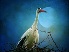 IMG_0120 The romantic stork (pinktigger) Tags: italy bird nature italia romantic moonlight stork cegonha cigea friuli storch cigogne ooievaar fagagna cicogna oasideiquadris feagne