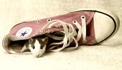 Rat hiding (Jeanette Svensson) Tags: pet flower rat sweden sneaker 8381 tassar morrhr jeanettesvensson jeanettesvenssonphotography