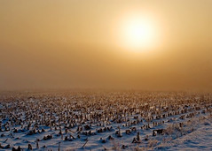 Frozen Field (Todd Klassy) Tags: morning winter sunset food orange sun sunlight snow plant cold art ice field weather yellow horizontal fog wisconsin rural sunrise landscape lost golden countryside haze corn flora midwest scenery warm soft frost alone glow quiet shadows cloudy outdoor cut farm trimmed horizon small country agrarian farming harvest foggy peaceful nobody farmland creepy growth soil rows picked reap opaque environment copyspace agriculture hazy wi thick stalks acre ecological stubble fodder frightening cultivated notill cerealcrop colorimage blanchardville