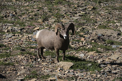"Bighorn Sheep • <a style=""font-size:0.8em;"" href=""http://www.flickr.com/photos/63501323@N07/15105662715/"" target=""_blank"">View on Flickr</a>"