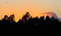 evening flight (brandsvig) Tags: sunset summer clouds skne sweden july sverige sommar solnedgng g11 2014 moln ljungbyhed canong11