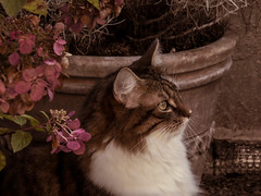 My cat (gilloogo) Tags: pink red pet white black flower green fleur cat chats kat chat noir longhair minet gato katze gatto poil blanc katzen mycat roux matou spia felin familier gati poils miaou monchat longair poillong