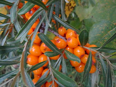 Sea Buckthorn Berries (Hippophae L.) (peggyhr) Tags: brown canada leaves yellow juicy soft branches alberta thegalaxy peggyhr dsc08184 bluebirdestates seabuckthornberries hippophael palesilverygreen thelooklevel2yellow