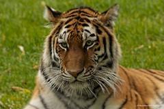 Looking (Dave Lockwood DA12) Tags: aperture nikon tiger bigcat amur woburnsafaripark onone woburn amurtiger wildarena d300s perfecteffects8