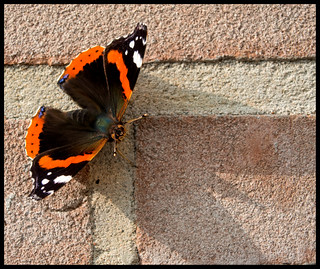 THE LAST OF THE RED ADMIRALS