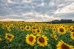 9/21/14 Sunnies! (Karol A Olson) Tags: sky clouds maryland sunflowers sunnies sep14 project3652014 jarettsville mdpd2014