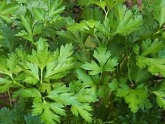 Pretty Parsley (MissyPenny) Tags: plants green garden parsley edible herb buckscounty bristolpennsylvania culinaryherb