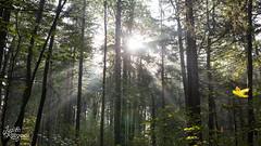 Fairytale Forest I (judithrouge) Tags: light ray rayoflight lichtstrahl strahl licht beam sunbeam forest wood trees wald bäume sonne sun gegenlicht contrejour lichtstimmung mood