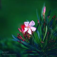 OleOleOleander (SeattleHVAC172) Tags: flower sunlight hope smile sundown soft dawn pastel comfort optimism oleander