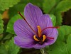 Zafferano (G.Sartori.510) Tags: pentaxk1 pentaxdasmc60250mmf4edifsdm zafferano saffron fiore flower macro