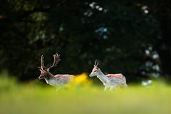 'Fallow Friends' (Jonathan Casey) Tags: fallow deer stag d810 nikon 400mm f28 vr