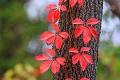 Virginia creeper at Chipera Prairie IA 854A4412 (lreis_naturalist) Tags: virginia creeper fall foliage chipera prairie winneshiek county iowa larry reis