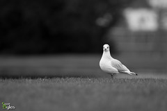 I Saw You Standing Alone. (Stuart_Byles) Tags: single landed solo standingalone seagull gull standing alone