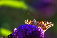 Vanessa cardui (novofotoo) Tags: butterfly distelfalter edelfalter falter fleckenfalter gegenlicht gemeinerflieder insekten lepidoptera natur pflanzen schmetterling syringavulgaris tagfalter tiere vanessacardui animals insects paintedlady