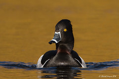 Ring-necked duck on a golden pond! (Chantal Jacques Photography) Tags: ringneckedduck fuliguleàbeccerclé fuliguleàcollier birdinginbritishcolumbia wildandfree goldenpond ringbilledduck chantaljacques