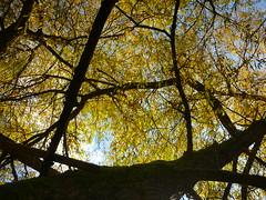Alte Weide (Jrg Paul Kaspari) Tags: springiersbach obstwiese alteweide salix baumkrone herbst autumn fall tree baum herbstfrbung