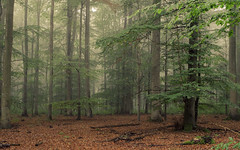 Fog in the Woods (Netsrak) Tags: mist fog nebel haze dunst wald forst woods forest eifel nature natur berg rheinlandpfalz deutschland de