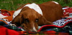 She likes her new blankie (EllieMaeDogBoutique) Tags: jackandellie basset hound puppy dog blanket nature fall