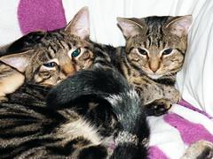 Fuzzy's tail hypnotises them both (rospix+) Tags: rospix 2016 october wales uk animal animals cat cats tabby play tabbycat tail