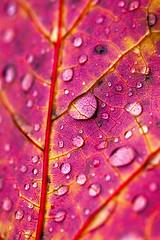 IMG_8953 (manleyaudio) Tags: canon5dmark2 canon 5dmarkii 5dmkii 100mm macro 100mml l lens fall leaves color water drops rain