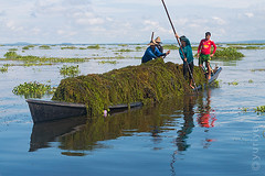 Farmers from Inle lake (yuriye) Tags: yuriye boat farm inle water reflection farmer people job plant agriculture myanmar shan floating blue intha grass nyaungshwe ywama man work