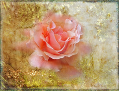 Gently ... (boeckli) Tags: flowers roses rose pflanzen plants plant outdoor bloom blossom blüten blumen bunt farbig flower orange bright textures texturen blooms blossoms painterly pastel gently ifdezellestextures encounterlaura pastell soft photoborder netartii legacy