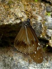 Nilgiri tiger (LPJC) Tags: butterfly munnar kerala india 2015 lpjc nilgiritiger endemic