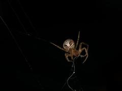 Spider eating silk from old web (Zachary Cava) Tags: spider silk arachnid zygiella orbweaver spidersilk arthropod invertebrate nature biology animalbehavior macro